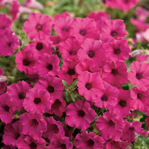 Supertunia Mini Vista Sangria Petunia Flowers and Foliage