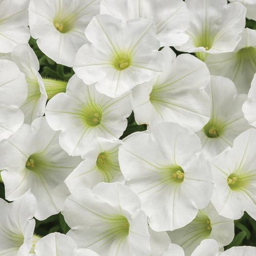 Supertunia Mini Vista White Petunia Flowers Close Up