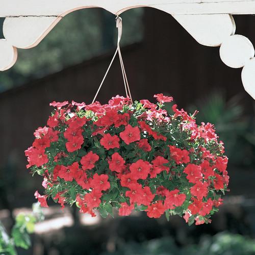 Supertunia Really Red Petunia in Hanging Basket