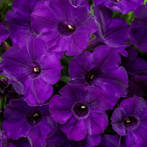 Supertunia Royal Velvet Petunia Flowers Close Up