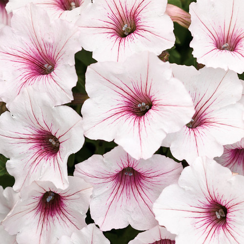 Supertunia Vista Silverberry Petunia Flower Petals