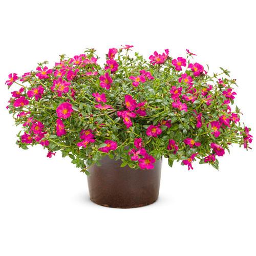 Large Mojave Fuchsia Purslane Plant in Garden Planter