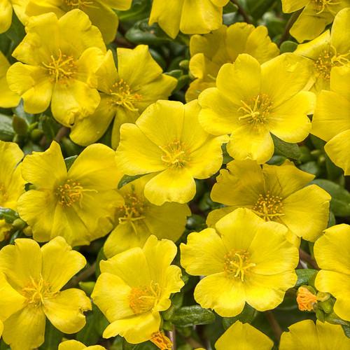 Mojave Yellow Purslane Flowers and Foliage