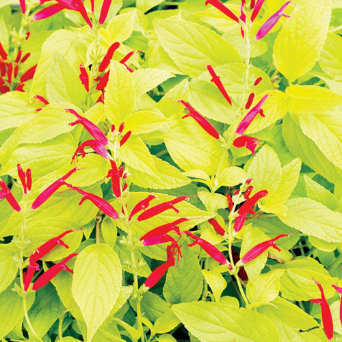 Rockin' Golden Delicious Salvia Flowers and Foliage