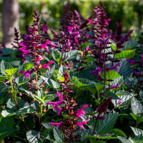 Rockin'® Fuchsia Salvia Growing in the Sunlight
