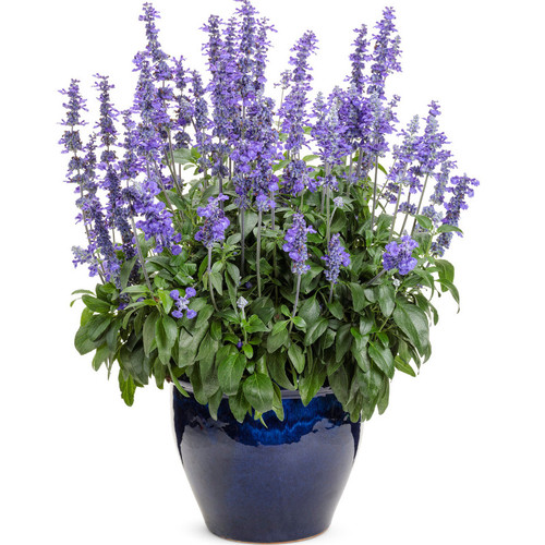 Unplugged® So Blue Salvia in Blue Planter