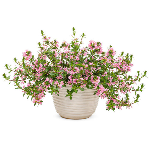 Whirlwind® Pink Fan Flower Plant Blooming in Planter