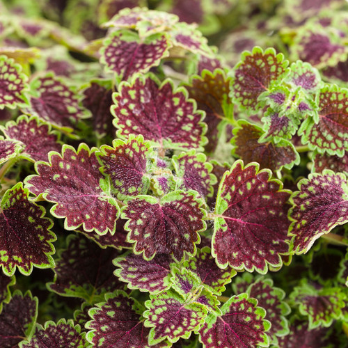 ColorBlaze Chocolate Drop Coleus Foliage