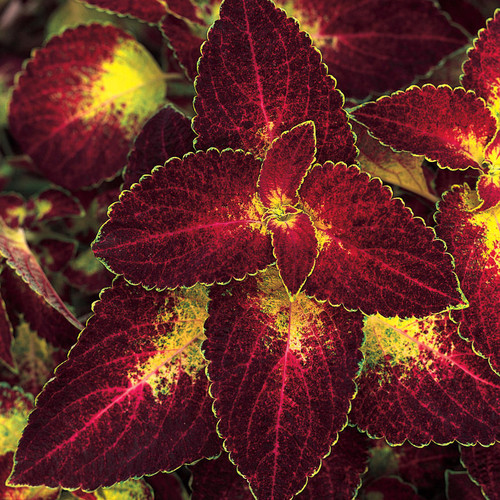 ColorBlaze® Dipt in Wine Coleus Foliage