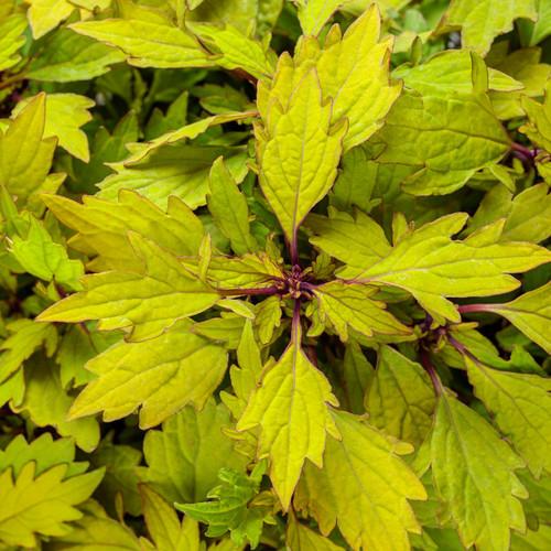 ColorBlaze® Royale Pineapple Brandy Coleus Foliage
