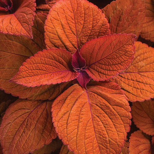 ColorBlaze® Sedona Sunset® Coleus Foliage