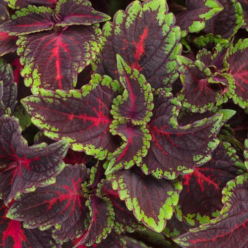 ColorBlaze® Torchlight® Coleus Foliage
