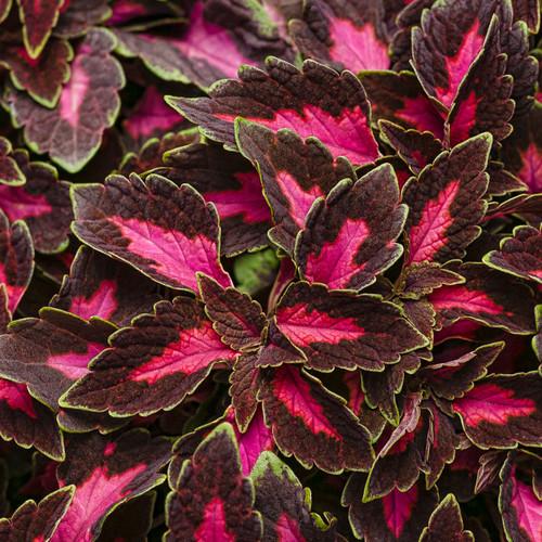 ColorBlaze® Velveteen® Coleus Foliage