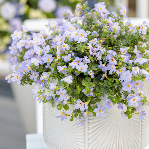 Snowstorm® Blue Bacopa in Decorative Pot