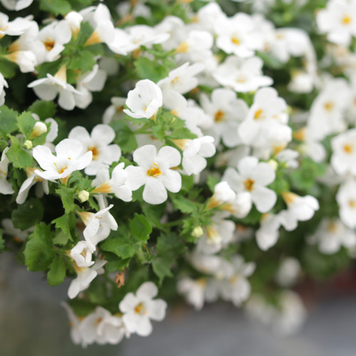 Snowstorm® Snow Globe® Bacopa Flowers and Foliage