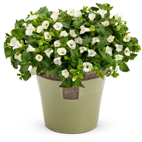 Catalina White Linen Wishbone Flower Plant Flowering in Planter
