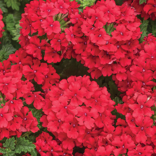 Superbena Red Verbena Flowers Close Up