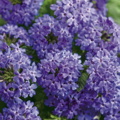 Superbena Royale® Chambray Verbena Flowers and Foliage