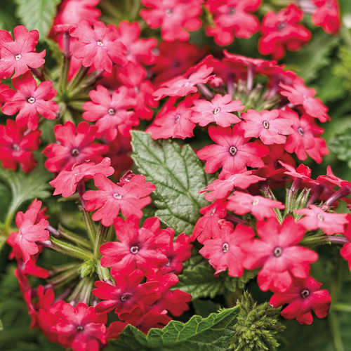 Superbena Royale Iced Cherry Verbena Flowers and Foliage