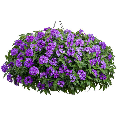 Superbena Violet Ice Verbena in Hanging Basket Covered in Blooms