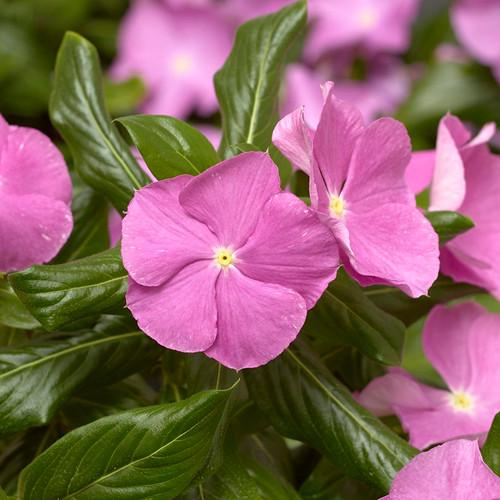 Cora Cascade Lavender Vinca flowers closeup