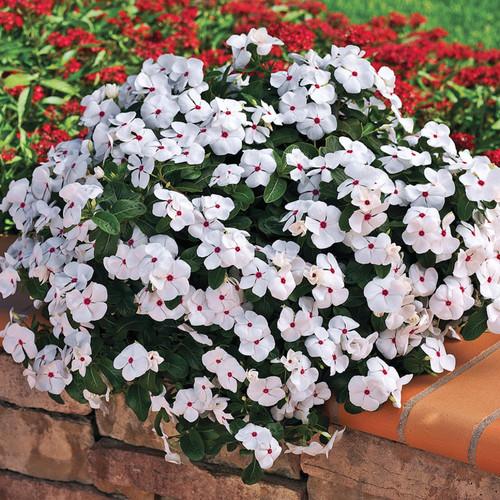 Cora Cascade Polka Dot Vinca Vine Covered in Blooms