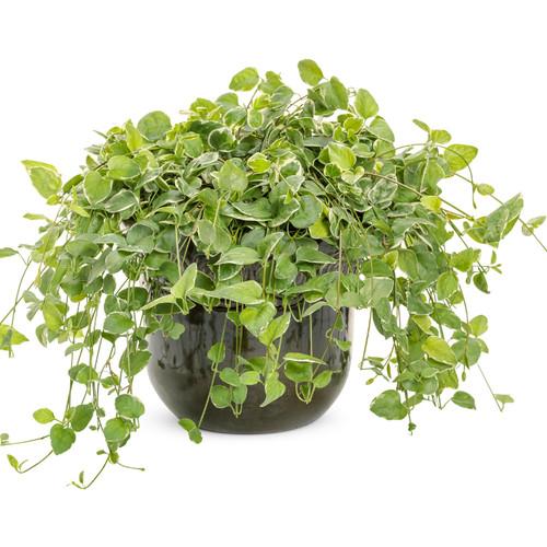 Wojo's Jem Vinca Vine Plant Growing in Garden Planter