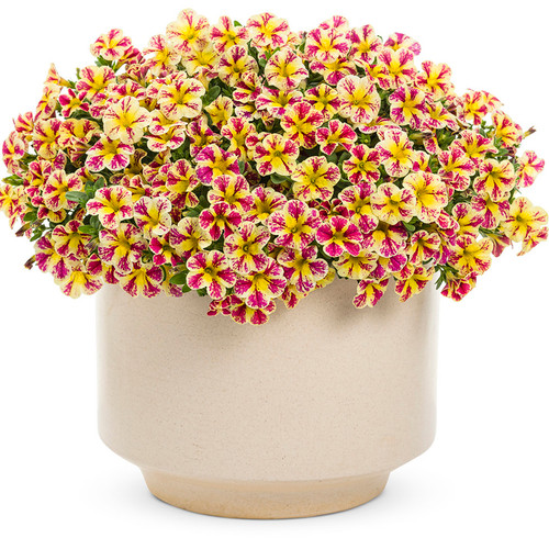Superbells® Holy Moly!® Calibrachoa in a planter