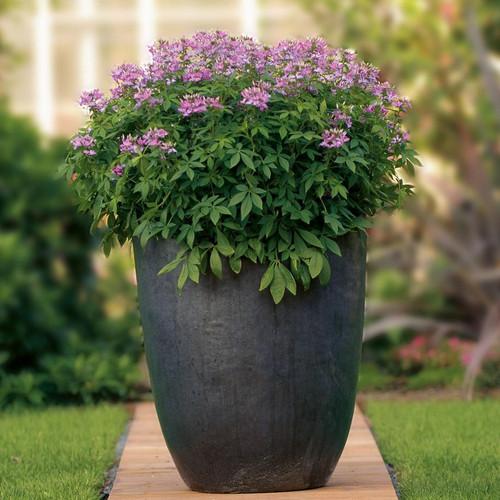 Señorita Rosalita® Spider Flower in Garden Planter