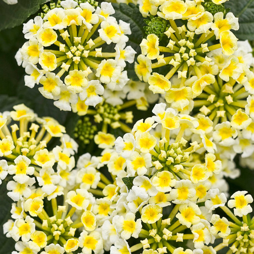 Luscious® Royale Piña Colada Lantana Flowers and Foliage