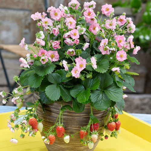 Berried Treasure® Pink Strawberry in Outdoor Planter