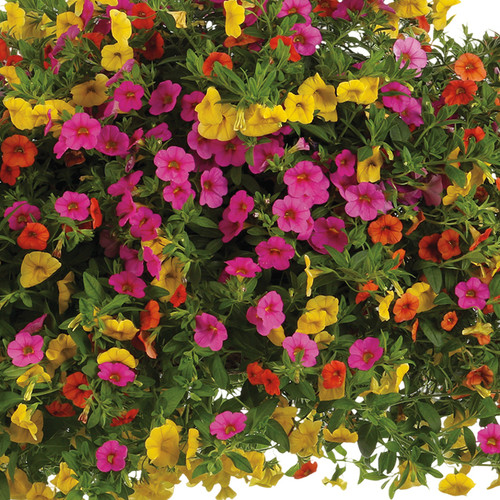 Candyland Mixed Annual Combo Flowers and Foliage Close Up