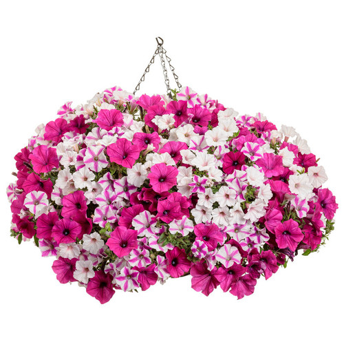 Color Statement Annual Plant Combination in Hanging Basket