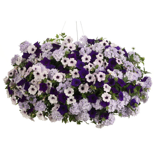 Do You Lilac It Annual Combination in Hanging Basket