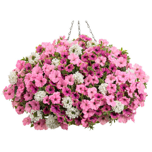 In Love Again Mixed Annual Combination in Hanging Basket