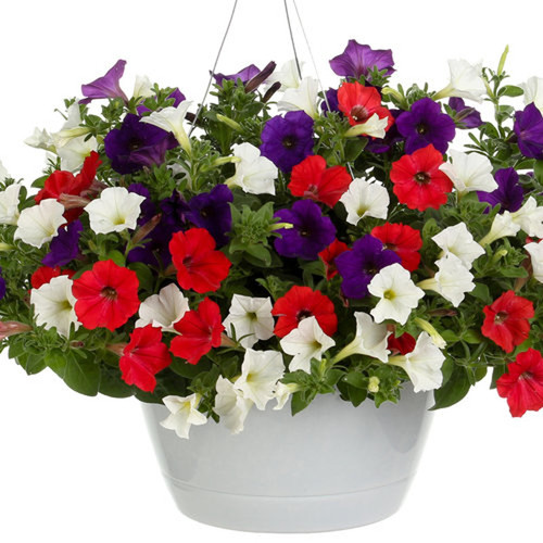 Main Street USA Mixed Annual Combination in Hanging Basket
