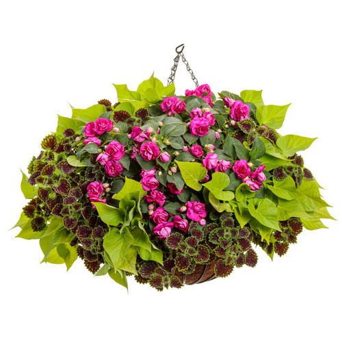 Manhattan Center Mixed Annual Combo in Hanging Basket