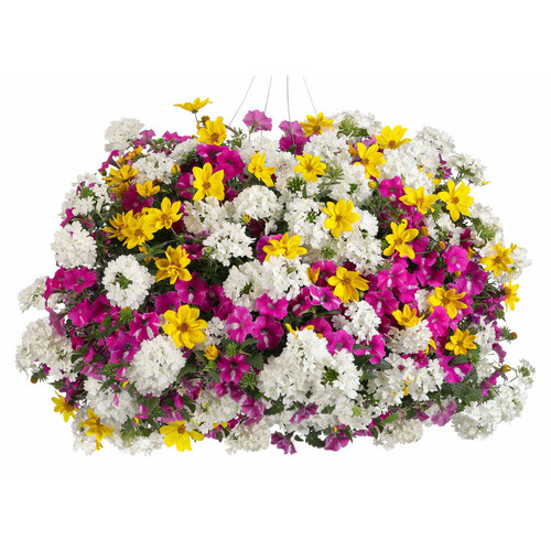 Rockin' Rush Mixed Annual Combination in Hanging Basket