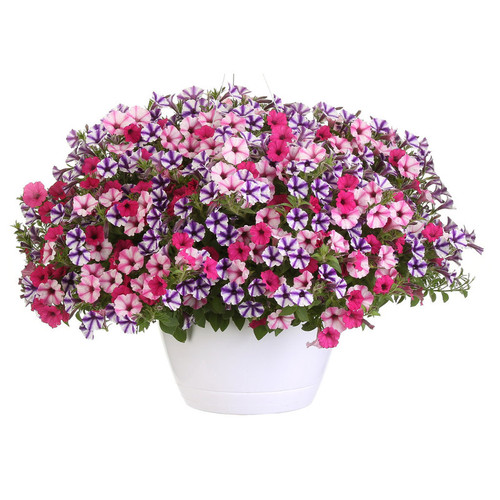 Sweet Stars Mixed Annual Combination in Hanging Basket