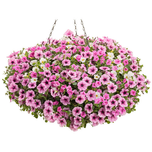 Truly Pink Mixed Annual Combination in Hanging Basket