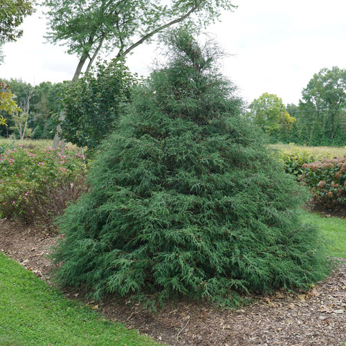 Large Haywire™ False Cypress Shrub in the Garden
