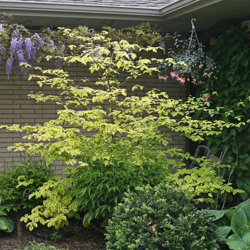 Golden Shadows® Dogwood in the Garden