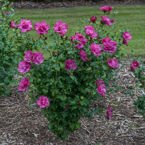 Magenta Chiffon® Rose of Sharon shrub in the garden
