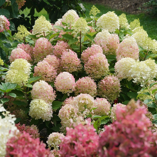 Fire Light Tidbit® Hydrangea Shrub Flowering in the Garden