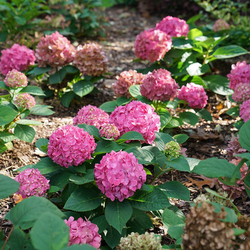 Let's Dance ¡Arriba!™ Hydrangea in the shade garden