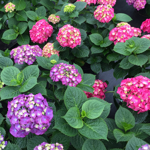 Let's Dance Big Band® Hydrangea with multiple colored blooms