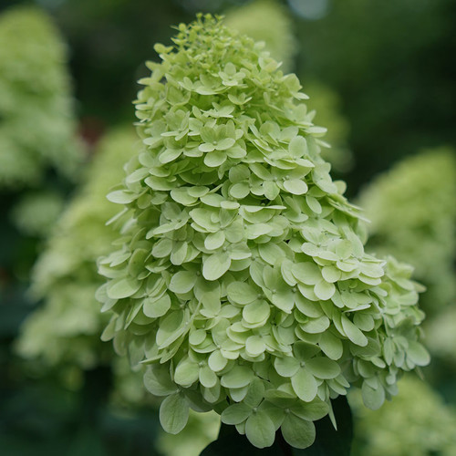 Limelight Prime® Hydrangea flower closeup