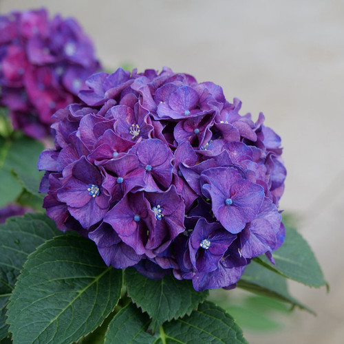 Wee Bit Grumpy® Hydrangea flower closeup
