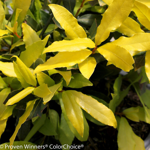 Sweet Bay Sicilian Sunshine® leaves close up