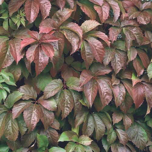 Red Wall® Virginia Creeper foliage
